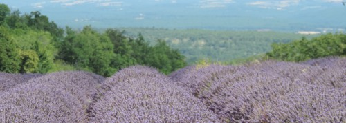 Lavender fields in Provence, France - August 2013