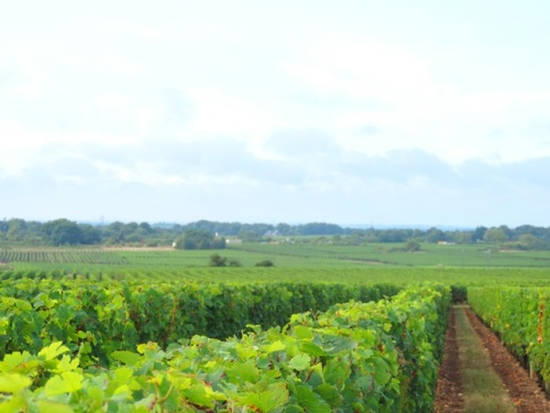 beautiful vineyards